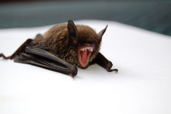 Can you sell a house with a bat roost large