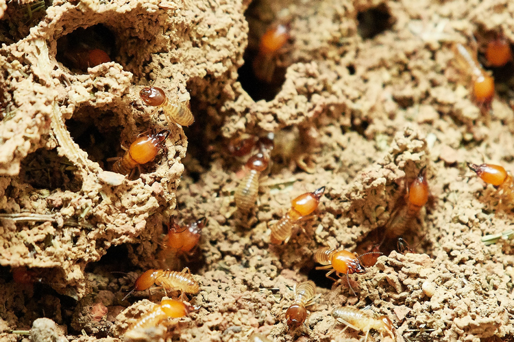 Should You Buy A House That Has Been Treated For Termites large