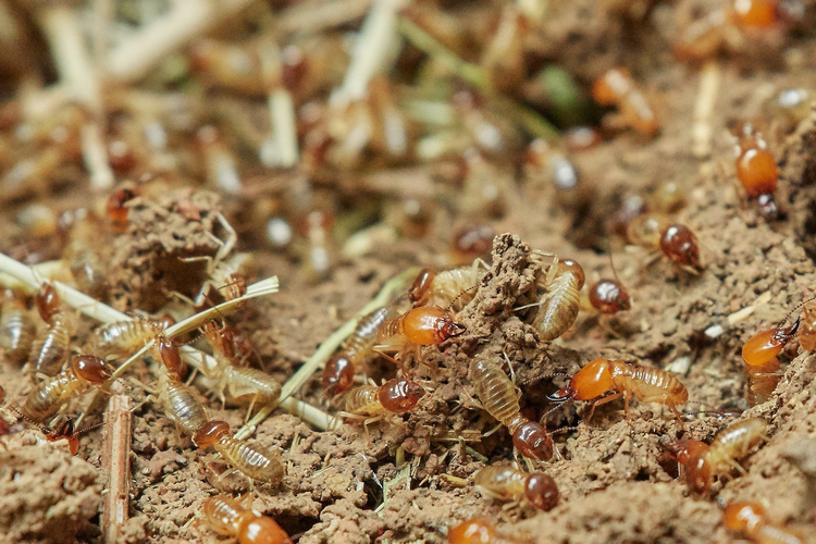 Where and which states are termites most common in America